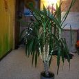 Отдается в дар Комнатное растение Юкка 110см