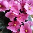 Отдается в дар Розовая фиалка-листики
