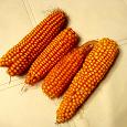 Отдается в дар початки кукурузы для грызуна