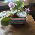 Отдается в дар Фиалки — небольшие растения