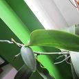 Отдается в дар детка орхидеи