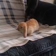 Отдается в дар Пушистое счастье-вислоухий кролик!