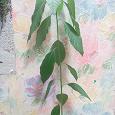 Отдается в дар авокадо растение
