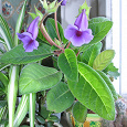 Отдается в дар Тидея (синингия) фиолетовая