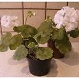 Отдается в дар Карликовые сортовые пеларгонии-молодые растения