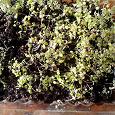 Отдается в дар многолетние растение гейхера-для дачи