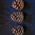 Отдается в дар Шишки сосновые для новогоднего декора или на ХМ