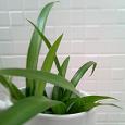 Отдается в дар Комнатное растение Хлорофитум