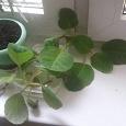 Отдается в дар глоксинии три штуки стебли