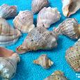 Отдается в дар Ракушки морские (рассортированы по видам)