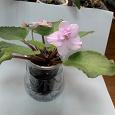 Отдается в дар Фиалка розовая