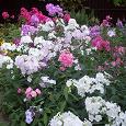 Отдается в дар Флоксы и другие цветы