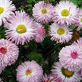 Отдается в дар Садовые цветы «Маргаритки»