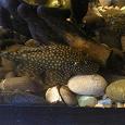 Отдается в дар для аквариума: сомики-анциструсы