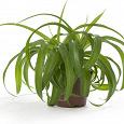 Отдается в дар Хлорофитум-комнатное растение.