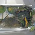 Отдается в дар Анубиас для аквариума