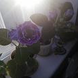 Отдается в дар Глоксиния фиолетовая