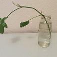 Отдается в дар Комнатное растение отросток