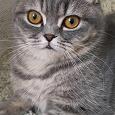 Отдается в дар Шотландская вислоухая кошка в дар