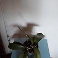 Отдается в дар Орхидея цвет сиреневый