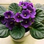 Сенполии (узамбарские фиалки) и другие цветы