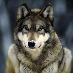 С душой Волка!