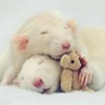 Грызуны: Мышки, крыски, хомячки…
