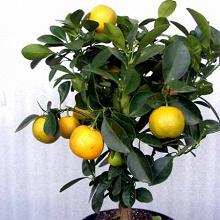 Отдается в дар Семена комнатного мандарина