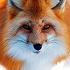 Foxolga