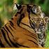 tigrenonokak