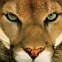 Golden_Puma