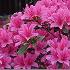 Radodendra