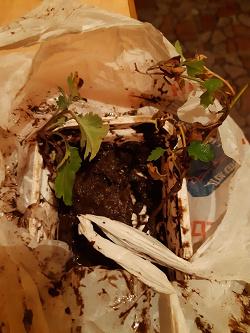 Отдается в дар «Отростки хризантемы малиновой»
