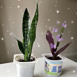 Отдается в дар «растение Рэо»