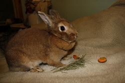 Отдается в дар «Пушистый кролик»