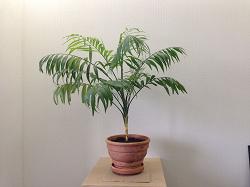 Отдается в дар «Маленькая пальма»