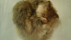 Отдается в дар «Котенок из меха сувенир»