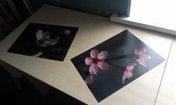 Отдается в дар «2 фотографии «Яблоня в цвету»»