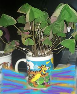 Отдается в дар «Кислица зелёная (оксалис триангулярис)»