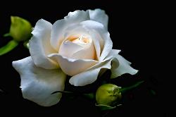 Отдается в дар «Книга «Белая роза»»