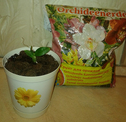 Отдается в дар «Орхидея»