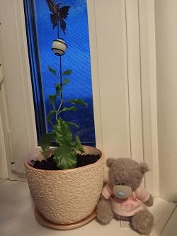 Отдается в дар «Комнатные растения — дуранта, абутилон, юкка»