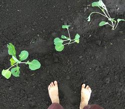 Отдается в дар «Рассада капусты.»