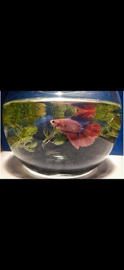 Отдается в дар «Растение аквариумное роголистник»