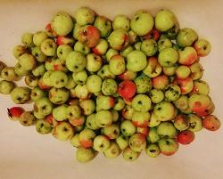 Отдается в дар «Яблоки дачные»