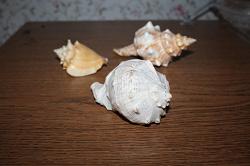 Отдается в дар «Ракушка 12 см»