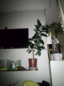 Отдается в дар «Комнатное растение фикус»