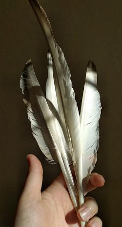 Отдается в дар «Гусиные перья»