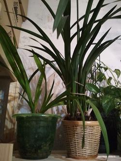 Отдается в дар «Орхидея Цимбидиум»