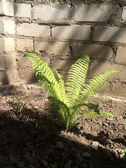 Отдается в дар «Папоротник садовый»
